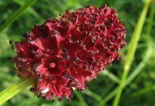 Динка - лечебна Sanguisorba officinalis L.