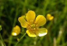 Обикновено лютиче Ranunculus acris