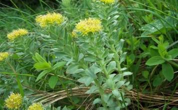 Жълт смил Helichrysum arenarium (L.) Moench