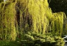Бяла върба Salix alba L.