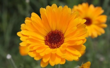Невен Calendula Officinalis
