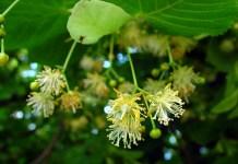Липа (дребнолистна, едролистна, сребролистна) Tilia cordata Mill. (T. parvifolia Ehrh.)