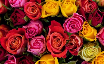 Цветът на розите