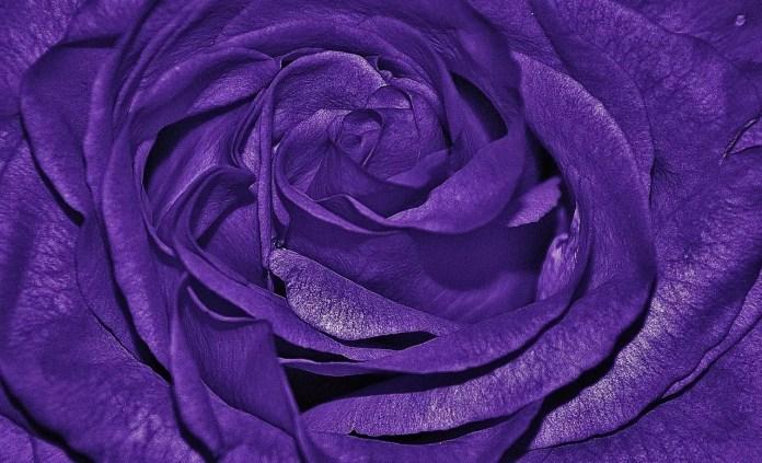 Цветът на розите носи тайнствени послания - Лилава