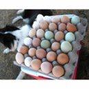 Eggs 1-flat