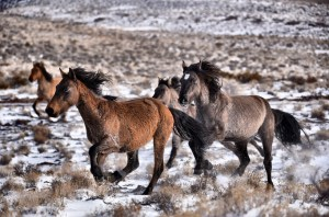 Hundreds of wild horses were gathered and removed from a BLM herd management area and brought to the BLM's contracted off-range corrals in Axtell.
