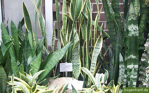 https://i2.wp.com/sansevieria.eu/wp-content/uploads/2007/08/sansevieria-cultivars.jpg