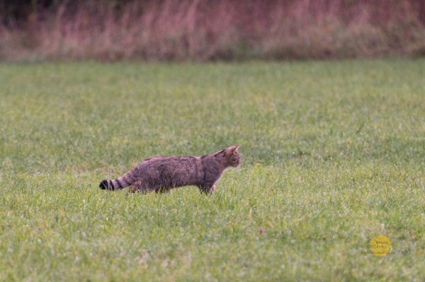Chat-forestier02