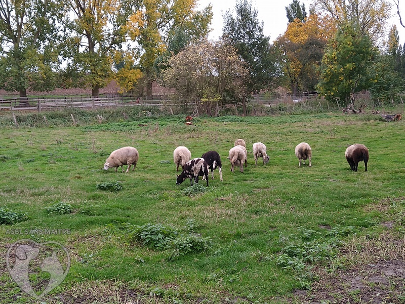 moutons (3)