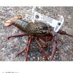 a nice Eastern Rock Lobster