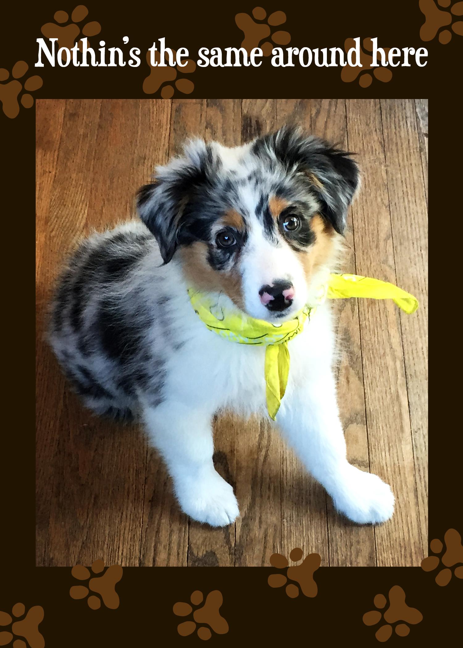 Get Well Card Feel Better Australian Shepherd Puppy