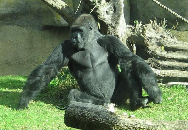 Male_silverback_gorilla_at_the_Santa_Barbara_Zoo