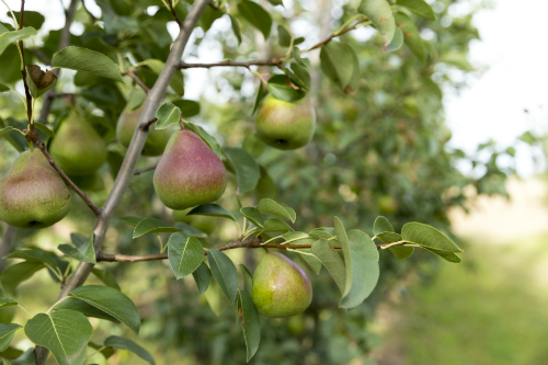 Effective summer pruning leads to more fruit like these pears.