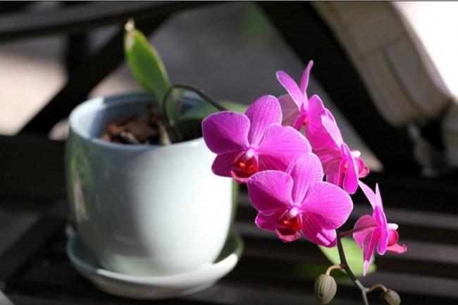 jenis bunga anggrek didalam pot
