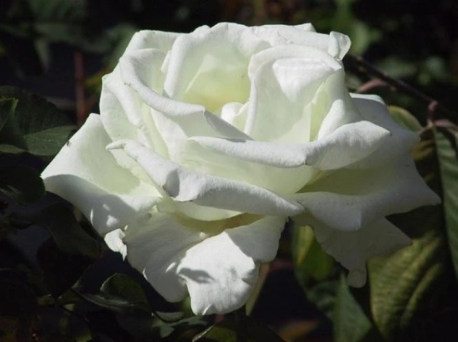 33 Jenis Bunga Mawar Beserta Cara Budidayanya Lengkap