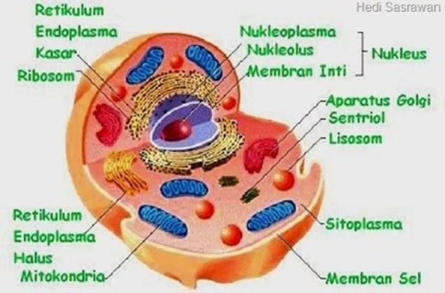 sitoplasma sel hewan