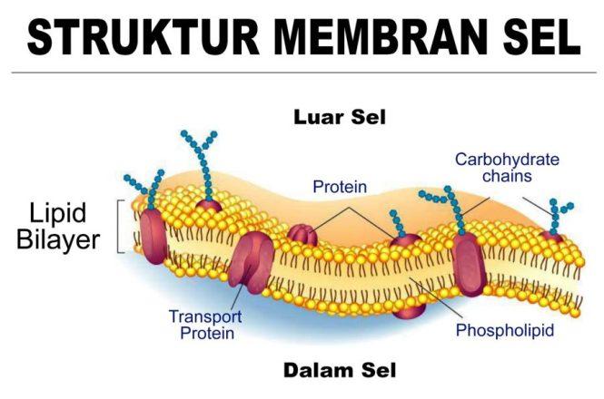 membran sel hewan