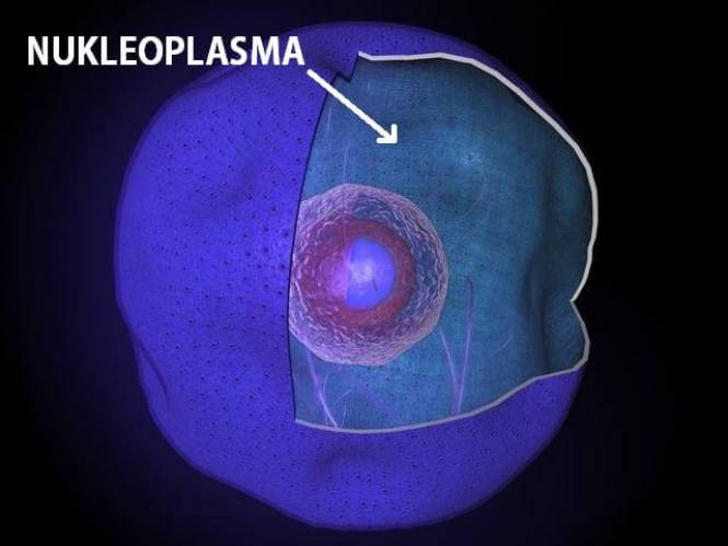 nukleoplasma (kariolimfa)