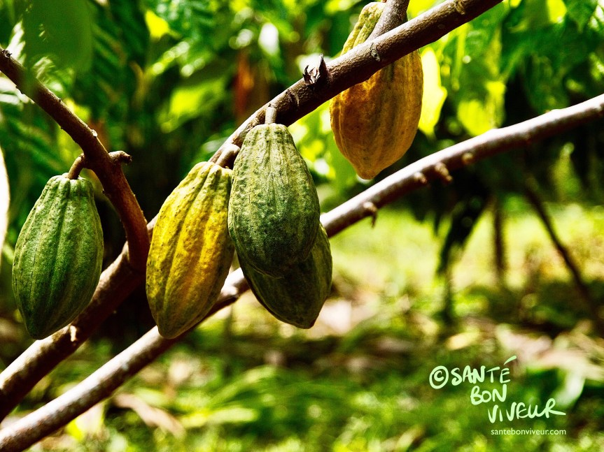 Cocoa pods growing at the Chocolate Museum, Limón Province, Costa Rica. Craft Chocolate Making