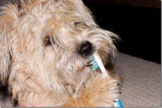 brossage dents chien