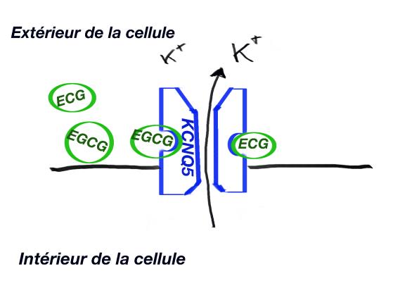 Activation du canal KCNQ5 par les catéches du thé ECG et /ou EGCG.