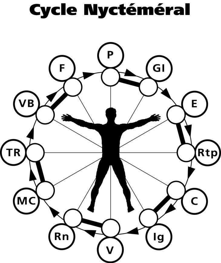 Cycle nycthéméral ou la progressions de l'énergie dans les 12 méridiens durant 24h. copyright Shiatsu Holistique 1991-2020
