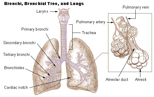 How to Breathe Better: Bronchial Tree
