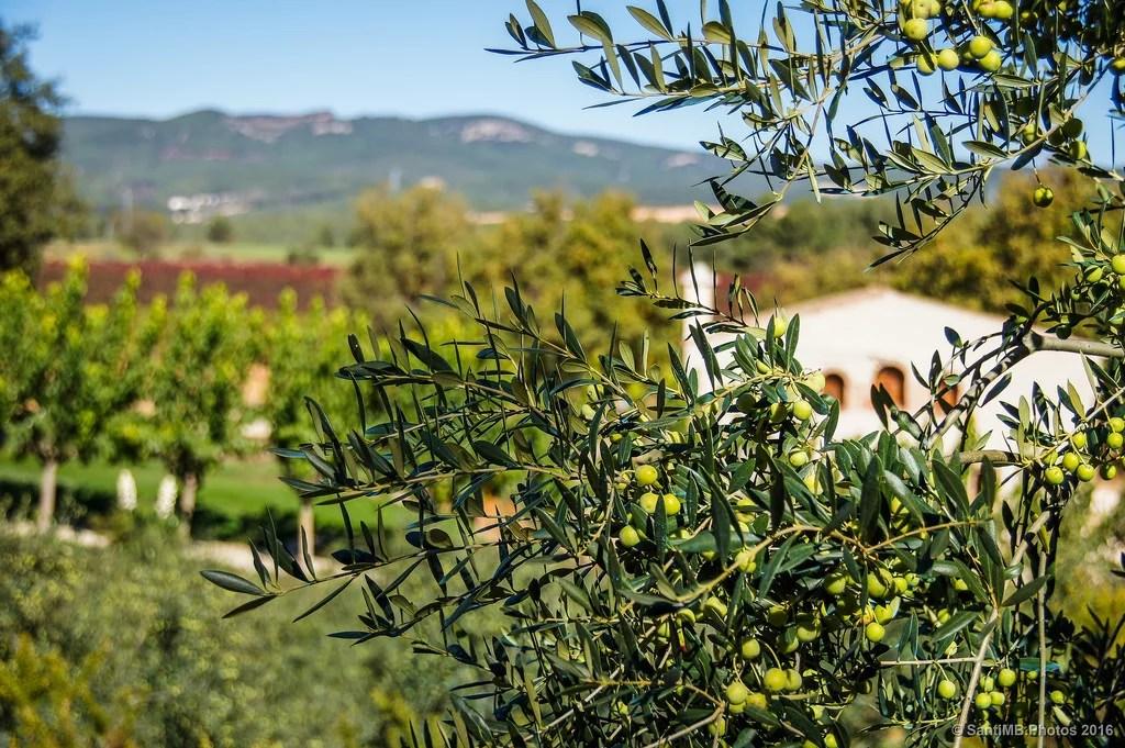Viñas y olivos