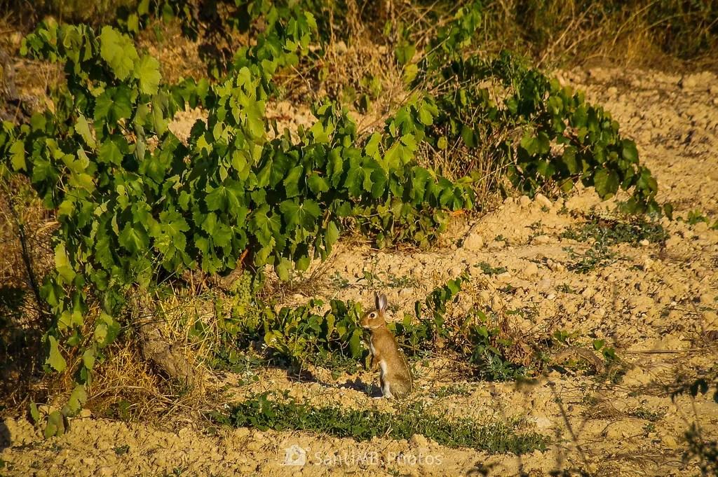 El conejo y la viña