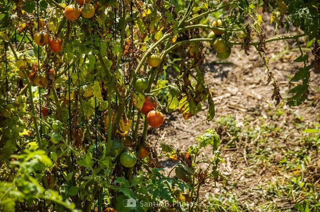 Tomates biológicos