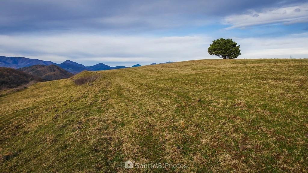 Un pino solitario