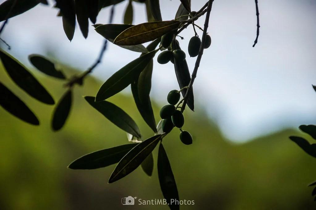 Bajo el olivo