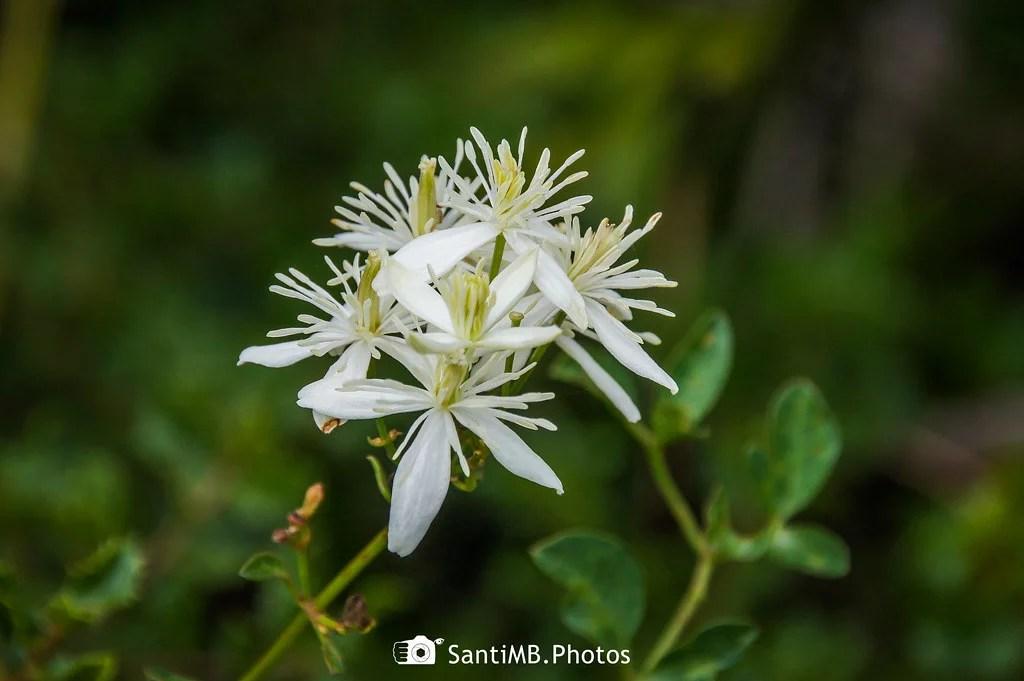 Las flores de la gata rabiosa