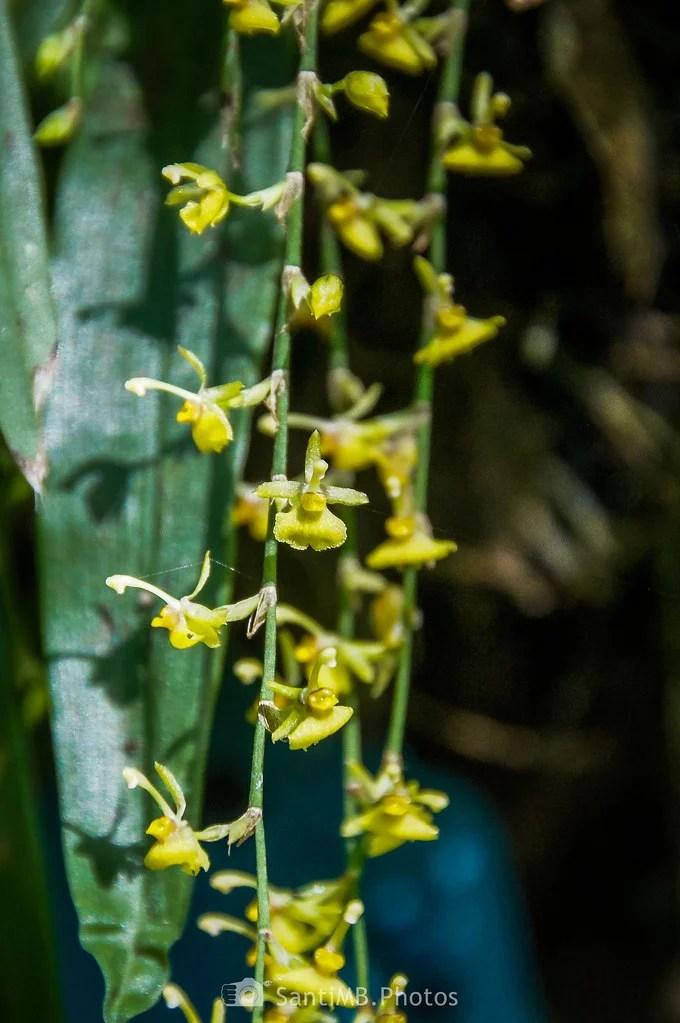 La tira de orquídeas