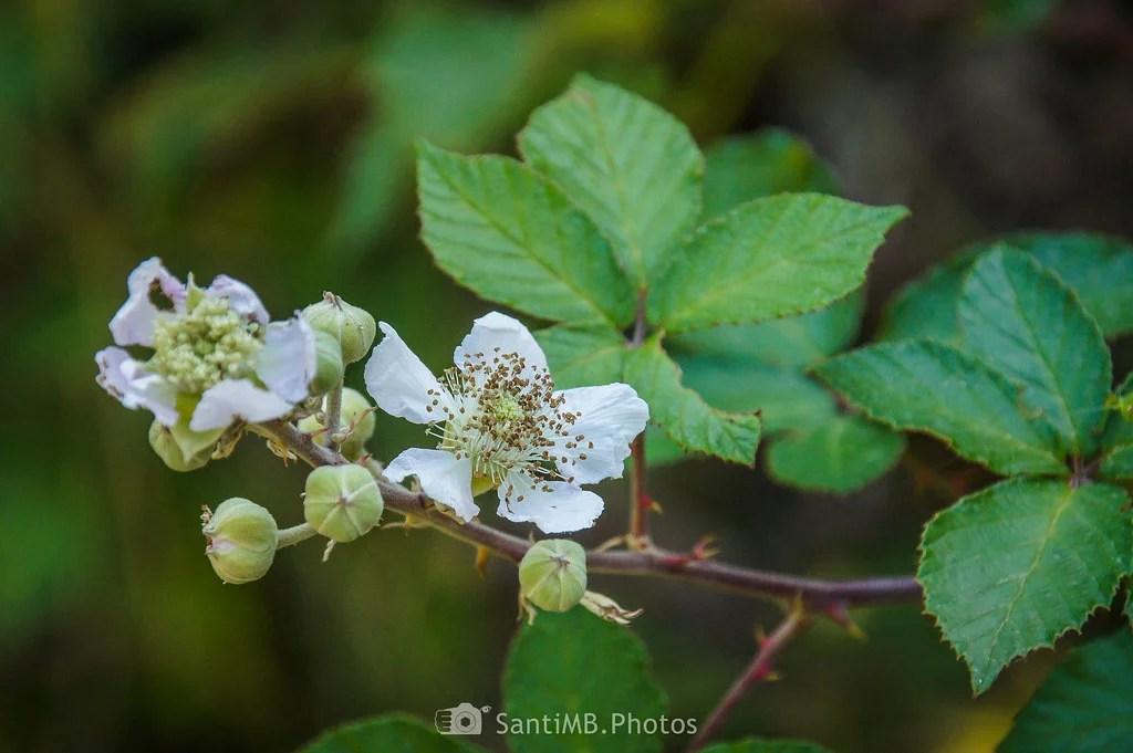 La flor de la zarzamora