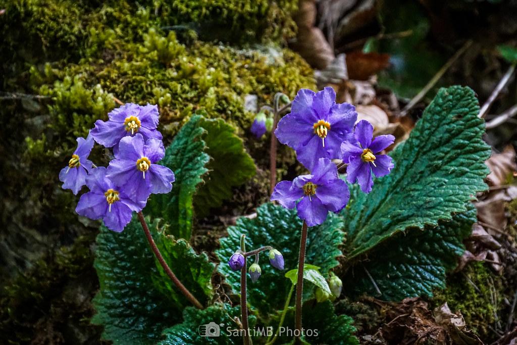 Más flores lilas