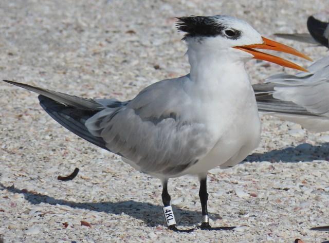 SanCap Audubon To Present 'Tracking Shorebirds Through Banding'