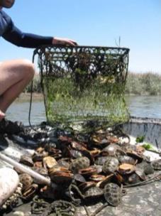 Terrapin caught in crab traps