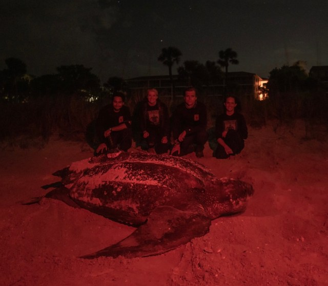 Leatherback Sea Turtle Tracked; Green Nest Relocated