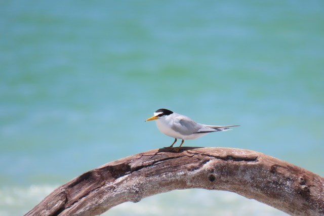 Least Tern Nest Count Down on North Captiva