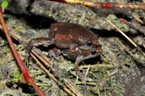 Narrow-mouthed toad (Gastrophryne carolinensis). SCCF photo