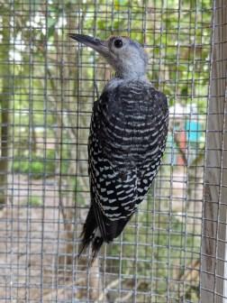 rb woodpecker2