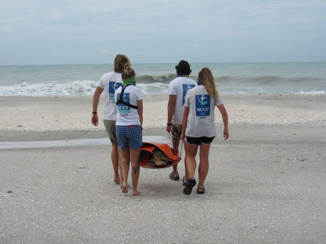 Loggerhead Sea Turtle Released on Sanibel