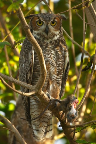 Great horned owl with rat in its talons. Photo by Sanibel resident Sara Lopez