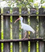 white ibis hit by golf ball (2)