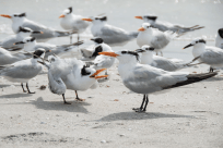 Royal Terns and Nestlings