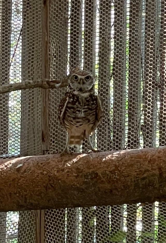Burrowing Owl Stuck in Glue Trap