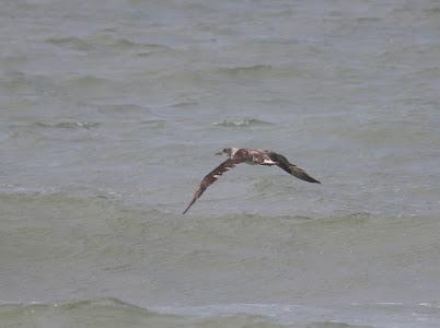 Northern Gannet Release
