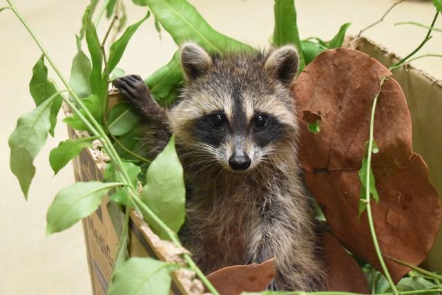Northern Raccoon Appreciation