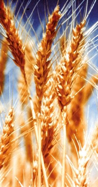 Se o grão de trigo não morrer, fica só...